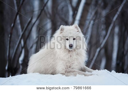 Large Dog Lying On Snow In Winter