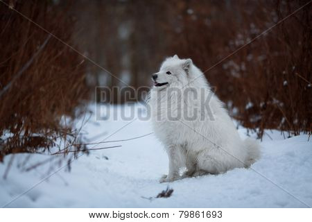 Big Shaggy Dog Sitting On A Snow