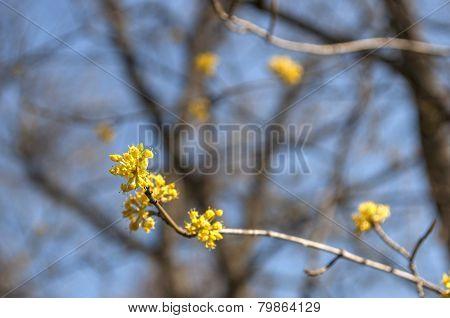 Cornelian cherry (Cornus Mas) flowers