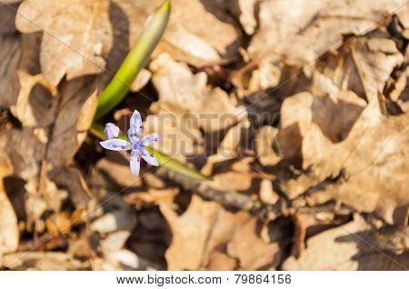 Two-leaf squill (Scilla Bifolia)