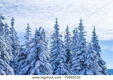 Beautiful winter landscape, high magnificent fir trees covered with fresh white snow, travel to Alpine mountains, beauty of wintertime nature
