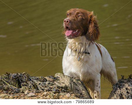 Brown And White Springer Spaniel Dog