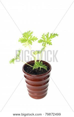 Scented Geraniums Young Plant In  Brown Pot, Mosquitoes Repellent