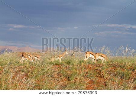 Springbok In The Wildlife, Namibia