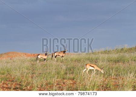 Springbok And Oryx, Namibia