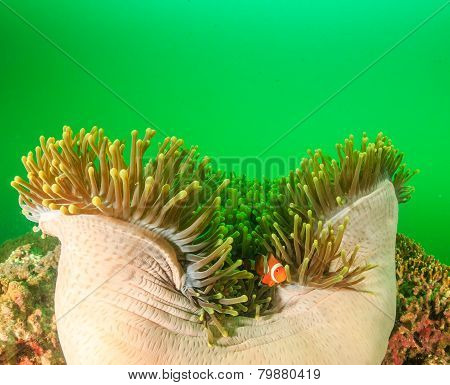 Clownfish In The Green