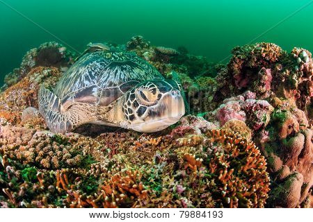 Green Turtle sleeping on a reef during an algae bloom