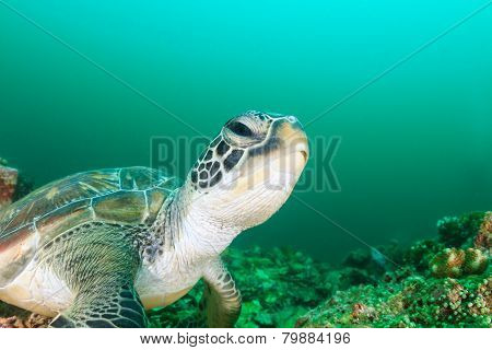 Green Turtle during an algae bloom