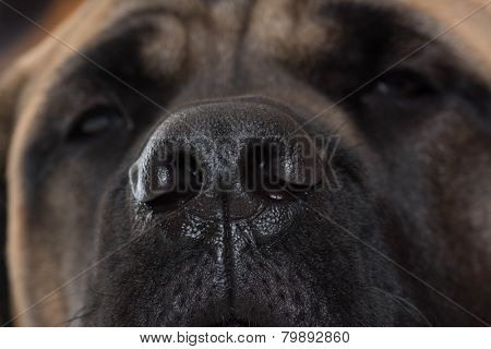 dog nose close up - english mastiff