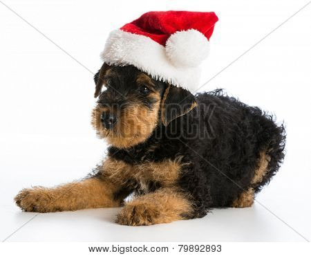 christmas puppy - airedale terrier puppy wearing santa hat laying down on white background