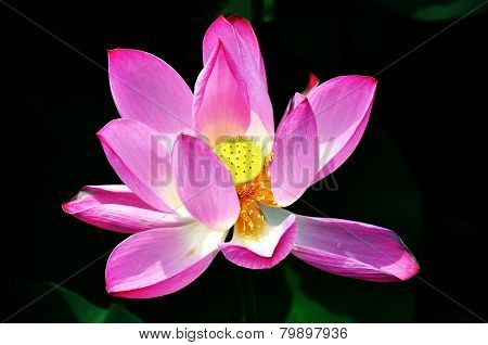 blooming lotus in the sunlight