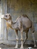 foto of hump day  - camel - JPG
