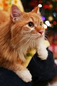 stock photo of lovable  - Lovable red cat on Christmas tree background - JPG