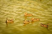 stock photo of duck pond  - Wild duck on the water - JPG