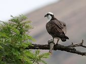 picture of osprey  - An Osprey with a fish perched on a branch in Eastern Washington - JPG