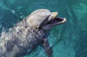 stock photo of bottlenose dolphin  - A close view of a dolphin swimming in clear blue water - JPG
