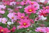 picture of cosmos flowers  - Cosmos flowers and buds - JPG