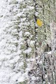 image of lichenes  - Snowy tree trunk closeup with yellow lichen in V�llingby Stockholm Sweden in January. ** Note: Shallow depth of field - JPG