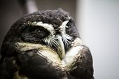 picture of owls  - Closeup photo of a beautiful Spectacled owl bird - JPG