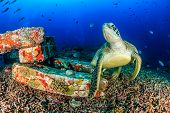 picture of green turtle  - Green Turtle on a tropical coral reef on a dark afternoon
