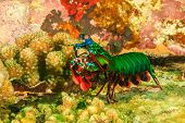 pic of biodiversity  - Peakcock Mantis Shrimp on a tropical coral reef - JPG