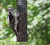 foto of woodpecker  - A hungry Hairy Woodpecker  - JPG