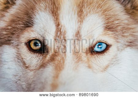 Multicolored Eyes Of A Husky Dog Puppy