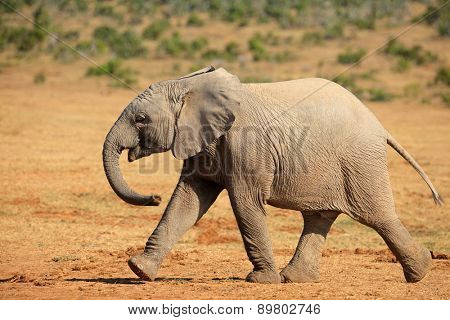 Young African elephant (Loxodonta africana) walking, Addo Elephant National park, South Africa