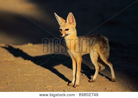 Cape fox (Vulpes chama) in late afternoon light, Kalahari desert, South Africa