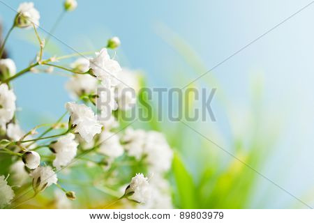 Gypsophila Flowers on Beatiful Blurry Background