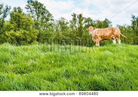 Brown Cow Standing On A Dike