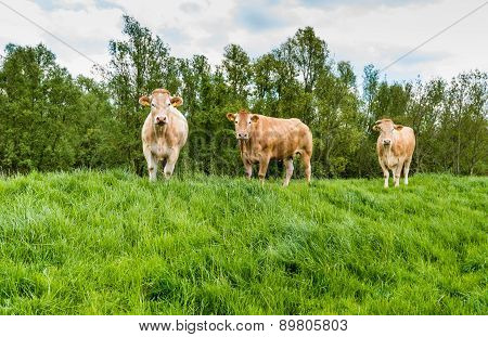 Brown Cows Standing In Fresh Grass
