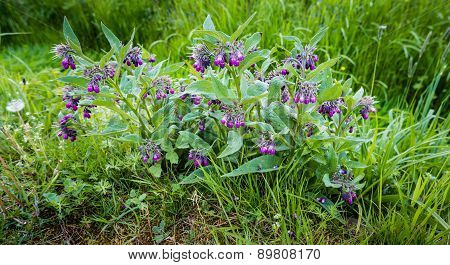 Purple Flowering Common Comfrey Plants From Close