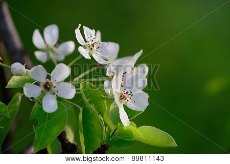 White pear flowers on a green background
