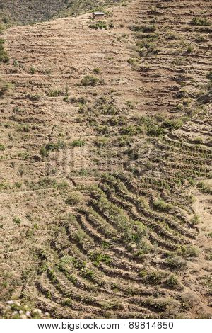 Dry terraced farmland in Ethiopia growing Qat
