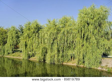 Willow Babylonian (weeping) on the lake
