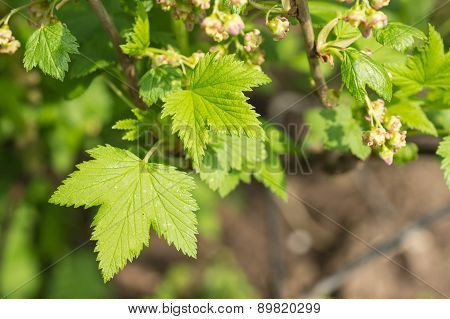 Flowers And Young Leaves On A Bush Of Red Currant In The Spring