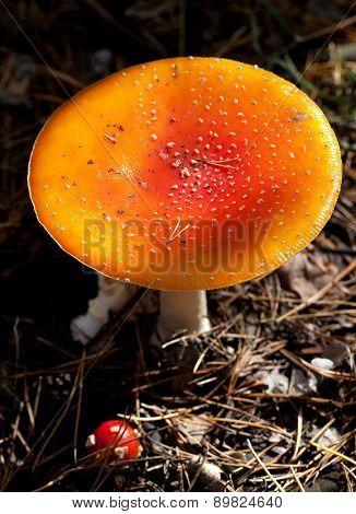 Amanita Muscaria Mushroom In Dark Forest At Sun Day