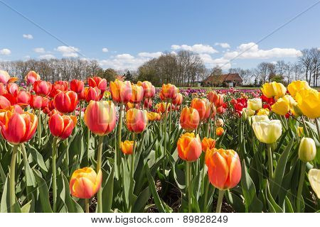 Tulip Field With Farmhouse In The Nehterlands