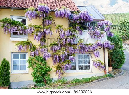 Village house with blooming wisteria.