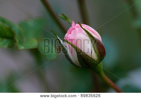 Pink rose bud in garden