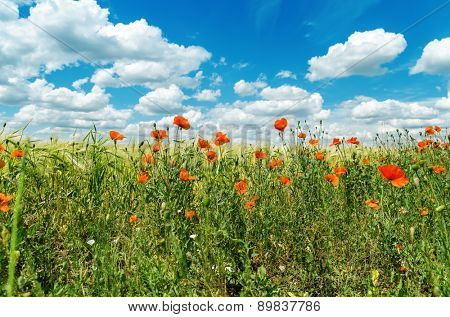 red poppies in green field under sky with clouds. soft focus on field