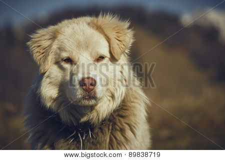 Attentive White Sheepdog Portrait
