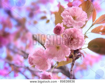 Pink Sakura Flowers On The Blue Sky Background