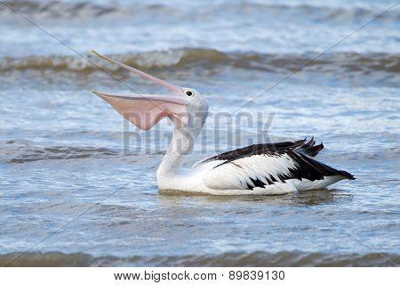 Australian Pelican Swimming in Ocean