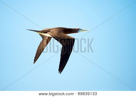 Brown Booby in Flight, Great Barrier Reef, Australia