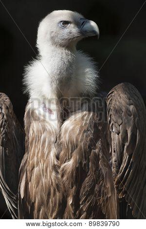 Snow Vulture Gyps Himalayensis