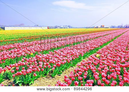 Beautiful colored tulip fields in the countryside from the Netherlands