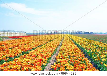 Blossoming tulips in the countryside from the Netherlands