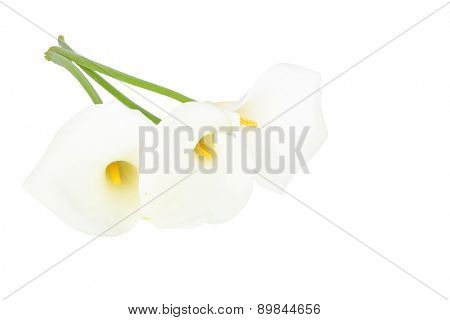 Blossoming calla flowers on a white background